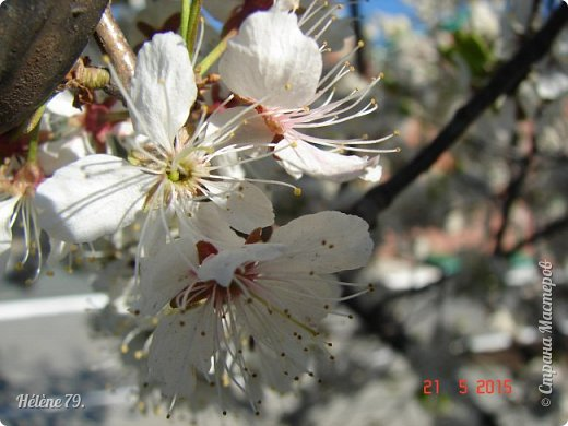 """""""Май бушует весной, Души наши пьянит Одурманенным запахом сада. Вишня цветом манит... фото 4"""
