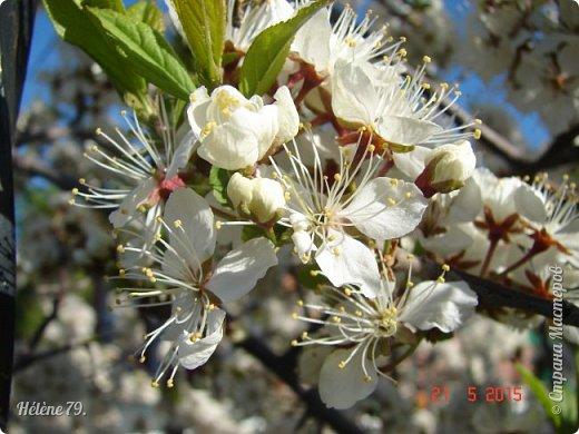 """""""Май бушует весной, Души наши пьянит Одурманенным запахом сада. Вишня цветом манит... фото 1"""