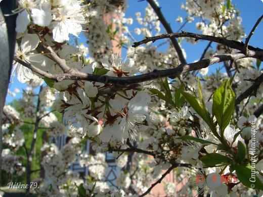 """""""Май бушует весной, Души наши пьянит Одурманенным запахом сада. Вишня цветом манит... фото 5"""