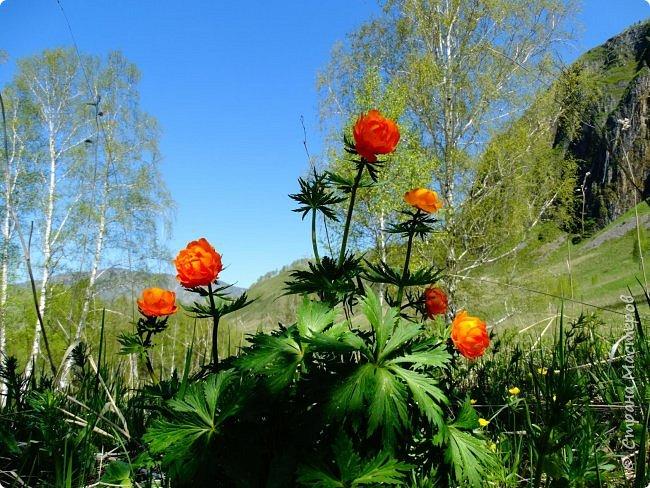 Это Иоанн Кронштадтский, святой праведник, сказал, что цветы – остатки рая на земле. И разве нельзя назвать райским местом этот родник в Бешпельтирском логу? У нас, в Горном Алтае, такая красота повсюду. И я приглашаю вас на неспешную прогулку по цветущему Алтаю. фото 53