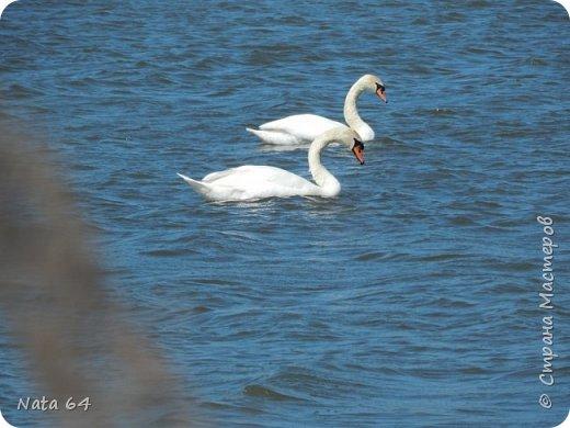 Номинация 1. Дикая фауна. Фотографировала парочку лебедей на озере в деревне. фото 1