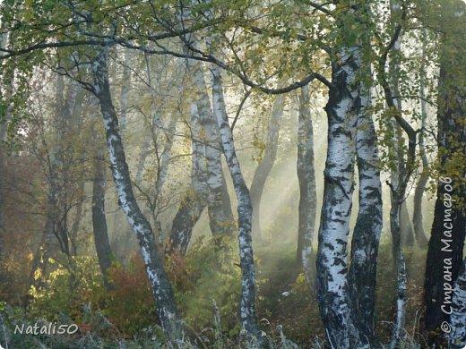 """Работа на конкурс """" Мир в фотографии """". Номинация 2.Дикая флора. На фотографии березки туманным утром.. фото 1"""