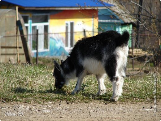 """""""Ох ты, козочка-коза! Всё гуляешь, дереза! Всё травинушку жуешь!...""""  (К. Авдеенко) фото 8"""