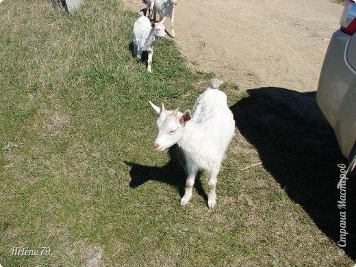 """""""Ох ты, козочка-коза! Всё гуляешь, дереза! Всё травинушку жуешь!...""""  (К. Авдеенко) фото 10"""