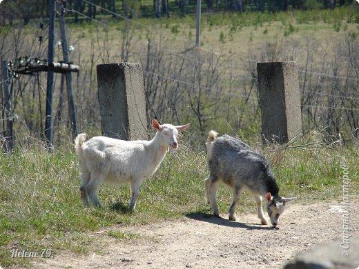 """""""Ох ты, козочка-коза! Всё гуляешь, дереза! Всё травинушку жуешь!...""""  (К. Авдеенко) фото 9"""