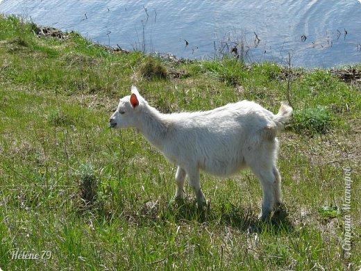 """""""Ох ты, козочка-коза! Всё гуляешь, дереза! Всё травинушку жуешь!...""""  (К. Авдеенко) фото 2"""