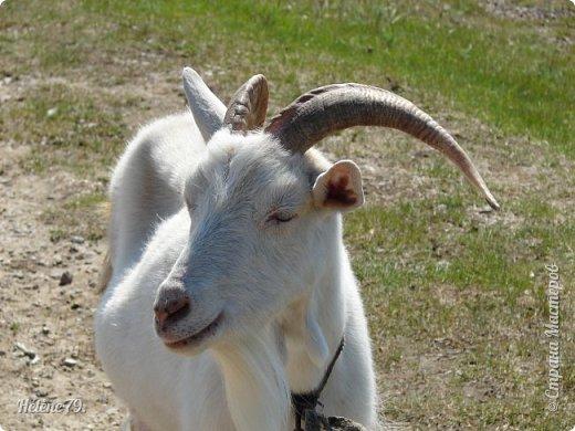 """""""Ох ты, козочка-коза! Всё гуляешь, дереза! Всё травинушку жуешь!...""""  (К. Авдеенко) фото 1"""