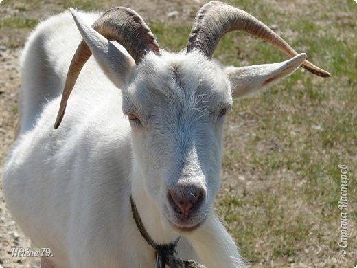 """""""Ох ты, козочка-коза! Всё гуляешь, дереза! Всё травинушку жуешь!...""""  (К. Авдеенко) фото 5"""
