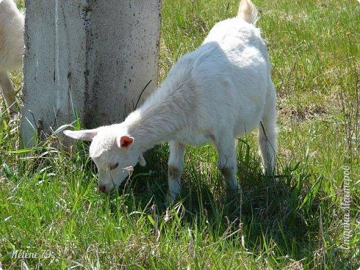 """""""Ох ты, козочка-коза! Всё гуляешь, дереза! Всё травинушку жуешь!...""""  (К. Авдеенко) фото 12"""