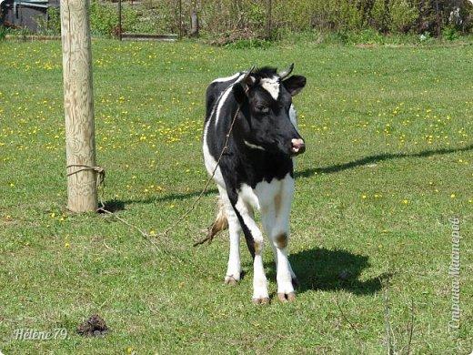 """""""Ох ты, козочка-коза! Всё гуляешь, дереза! Всё травинушку жуешь!...""""  (К. Авдеенко) фото 17"""