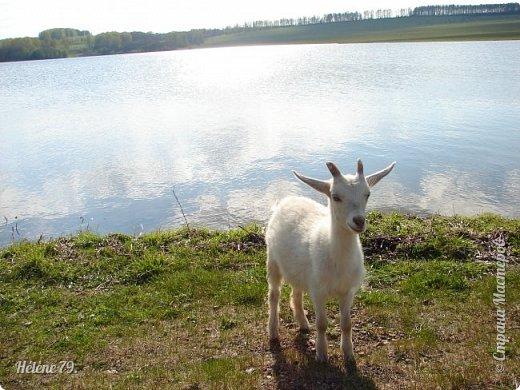 """""""Ох ты, козочка-коза! Всё гуляешь, дереза! Всё травинушку жуешь!...""""  (К. Авдеенко) фото 32"""