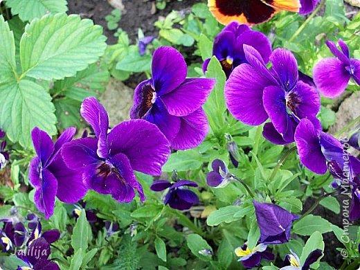 Для тех, кто любит эти цветочки, уважаемые мастера, я сегодня привезла из деревни это буйство цвета и красок.  Оторвитесь от своих поделок, пусть ваши трудолюбивые ручки и глазки отдохнут. Вы посмотрите, сколько ярких красок!  Какое буйство цвета! Я не буду вам мешать. Буду рада, если мои виолки доставят вам несколько приятных минут. фото 1