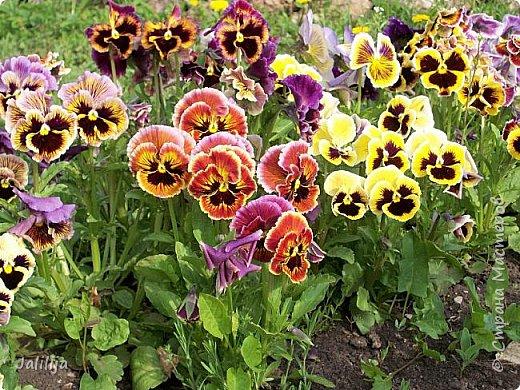 Для тех, кто любит эти цветочки, уважаемые мастера, я сегодня привезла из деревни это буйство цвета и красок.  Оторвитесь от своих поделок, пусть ваши трудолюбивые ручки и глазки отдохнут. Вы посмотрите, сколько ярких красок!  Какое буйство цвета! Я не буду вам мешать. Буду рада, если мои виолки доставят вам несколько приятных минут. фото 11