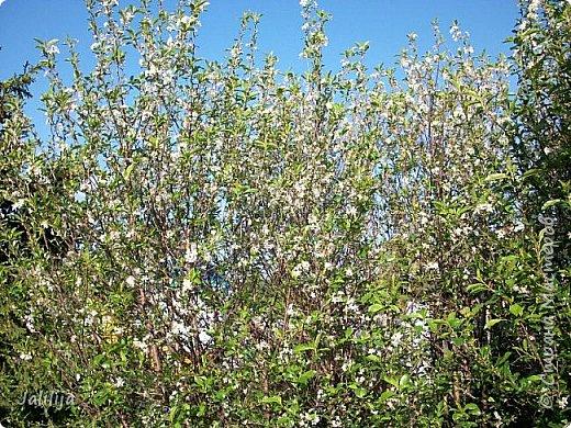 Основной цвет мая? Ошибаетесь, если думаете - зелёный. Зелёный цвет - цвет весны. А цвет мая в наших краях - белый. И этот цвет имеет изумительный аромат! И звучание - многоголосое жужжание пчёл. фото 10