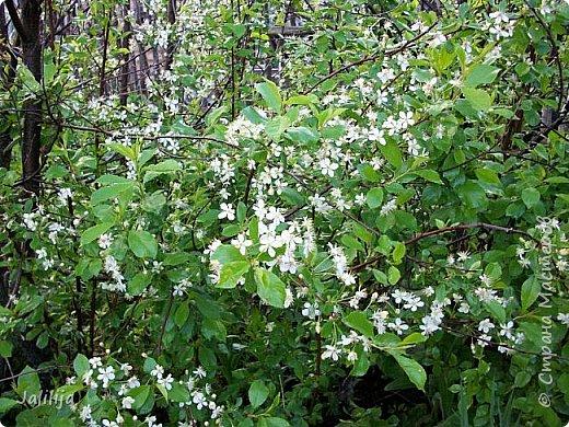 Основной цвет мая? Ошибаетесь, если думаете - зелёный. Зелёный цвет - цвет весны. А цвет мая в наших краях - белый. И этот цвет имеет изумительный аромат! И звучание - многоголосое жужжание пчёл. фото 11