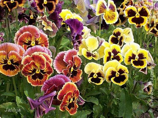 Для тех, кто любит эти цветочки, уважаемые мастера, я сегодня привезла из деревни это буйство цвета и красок.  Оторвитесь от своих поделок, пусть ваши трудолюбивые ручки и глазки отдохнут. Вы посмотрите, сколько ярких красок!  Какое буйство цвета! Я не буду вам мешать. Буду рада, если мои виолки доставят вам несколько приятных минут. фото 13