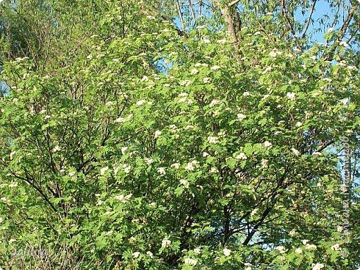 Основной цвет мая? Ошибаетесь, если думаете - зелёный. Зелёный цвет - цвет весны. А цвет мая в наших краях - белый. И этот цвет имеет изумительный аромат! И звучание - многоголосое жужжание пчёл. фото 12