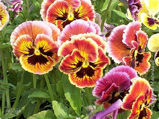 Для тех, кто любит эти цветочки, уважаемые мастера, я сегодня привезла из деревни это буйство цвета и красок.  Оторвитесь от своих поделок, пусть ваши трудолюбивые ручки и глазки отдохнут. Вы посмотрите, сколько ярких красок!  Какое буйство цвета! Я не буду вам мешать. Буду рада, если мои виолки доставят вам несколько приятных минут. фото 14