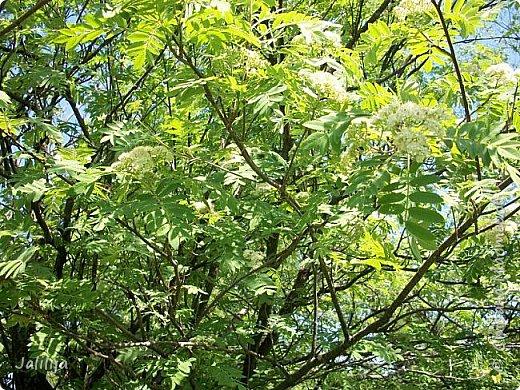 Основной цвет мая? Ошибаетесь, если думаете - зелёный. Зелёный цвет - цвет весны. А цвет мая в наших краях - белый. И этот цвет имеет изумительный аромат! И звучание - многоголосое жужжание пчёл. фото 13