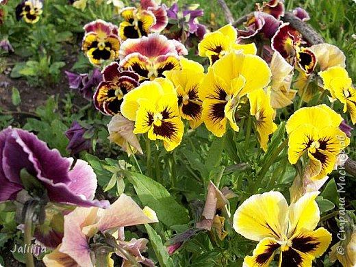 Для тех, кто любит эти цветочки, уважаемые мастера, я сегодня привезла из деревни это буйство цвета и красок.  Оторвитесь от своих поделок, пусть ваши трудолюбивые ручки и глазки отдохнут. Вы посмотрите, сколько ярких красок!  Какое буйство цвета! Я не буду вам мешать. Буду рада, если мои виолки доставят вам несколько приятных минут. фото 15