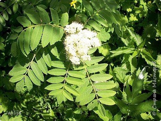 Основной цвет мая? Ошибаетесь, если думаете - зелёный. Зелёный цвет - цвет весны. А цвет мая в наших краях - белый. И этот цвет имеет изумительный аромат! И звучание - многоголосое жужжание пчёл. фото 14