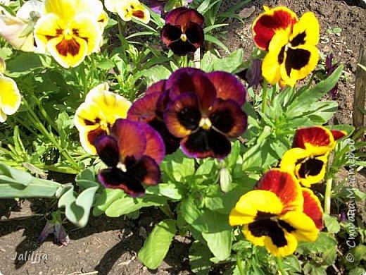 Для тех, кто любит эти цветочки, уважаемые мастера, я сегодня привезла из деревни это буйство цвета и красок.  Оторвитесь от своих поделок, пусть ваши трудолюбивые ручки и глазки отдохнут. Вы посмотрите, сколько ярких красок!  Какое буйство цвета! Я не буду вам мешать. Буду рада, если мои виолки доставят вам несколько приятных минут. фото 16