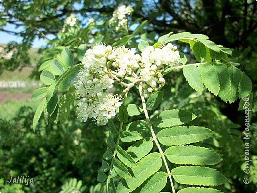 Основной цвет мая? Ошибаетесь, если думаете - зелёный. Зелёный цвет - цвет весны. А цвет мая в наших краях - белый. И этот цвет имеет изумительный аромат! И звучание - многоголосое жужжание пчёл. фото 15