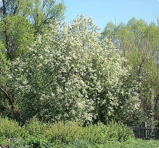 Основной цвет мая? Ошибаетесь, если думаете - зелёный. Зелёный цвет - цвет весны. А цвет мая в наших краях - белый. И этот цвет имеет изумительный аромат! И звучание - многоголосое жужжание пчёл. фото 16