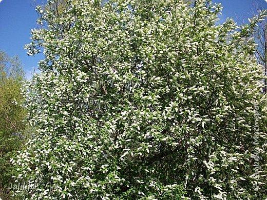 Основной цвет мая? Ошибаетесь, если думаете - зелёный. Зелёный цвет - цвет весны. А цвет мая в наших краях - белый. И этот цвет имеет изумительный аромат! И звучание - многоголосое жужжание пчёл. фото 17
