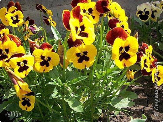 Для тех, кто любит эти цветочки, уважаемые мастера, я сегодня привезла из деревни это буйство цвета и красок.  Оторвитесь от своих поделок, пусть ваши трудолюбивые ручки и глазки отдохнут. Вы посмотрите, сколько ярких красок!  Какое буйство цвета! Я не буду вам мешать. Буду рада, если мои виолки доставят вам несколько приятных минут. фото 18