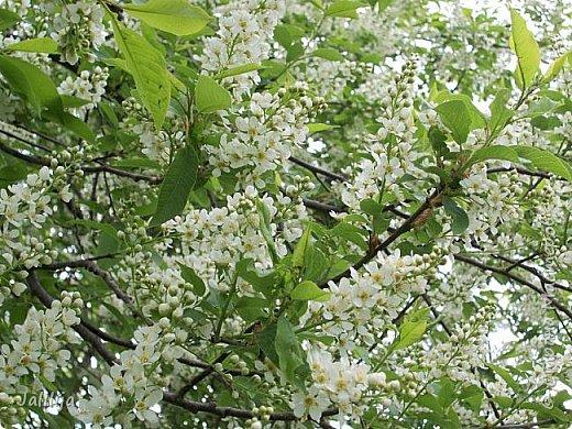 Основной цвет мая? Ошибаетесь, если думаете - зелёный. Зелёный цвет - цвет весны. А цвет мая в наших краях - белый. И этот цвет имеет изумительный аромат! И звучание - многоголосое жужжание пчёл. фото 18