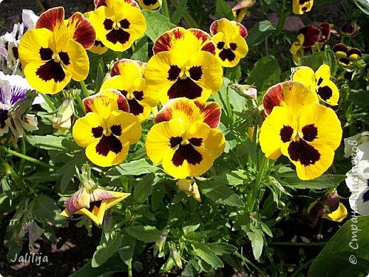 Для тех, кто любит эти цветочки, уважаемые мастера, я сегодня привезла из деревни это буйство цвета и красок.  Оторвитесь от своих поделок, пусть ваши трудолюбивые ручки и глазки отдохнут. Вы посмотрите, сколько ярких красок!  Какое буйство цвета! Я не буду вам мешать. Буду рада, если мои виолки доставят вам несколько приятных минут. фото 19