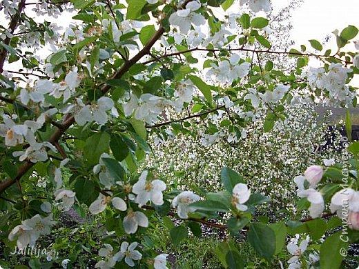 Основной цвет мая? Ошибаетесь, если думаете - зелёный. Зелёный цвет - цвет весны. А цвет мая в наших краях - белый. И этот цвет имеет изумительный аромат! И звучание - многоголосое жужжание пчёл. фото 1