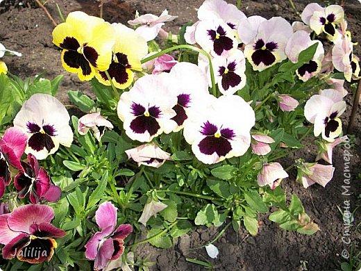 Для тех, кто любит эти цветочки, уважаемые мастера, я сегодня привезла из деревни это буйство цвета и красок.  Оторвитесь от своих поделок, пусть ваши трудолюбивые ручки и глазки отдохнут. Вы посмотрите, сколько ярких красок!  Какое буйство цвета! Я не буду вам мешать. Буду рада, если мои виолки доставят вам несколько приятных минут. фото 21