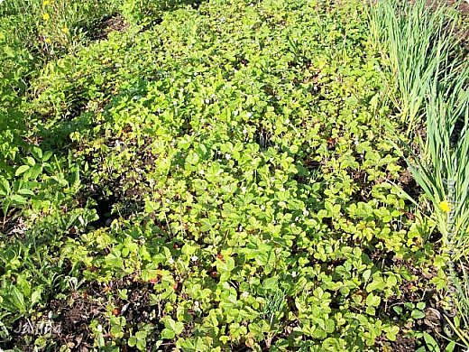 Основной цвет мая? Ошибаетесь, если думаете - зелёный. Зелёный цвет - цвет весны. А цвет мая в наших краях - белый. И этот цвет имеет изумительный аромат! И звучание - многоголосое жужжание пчёл. фото 21