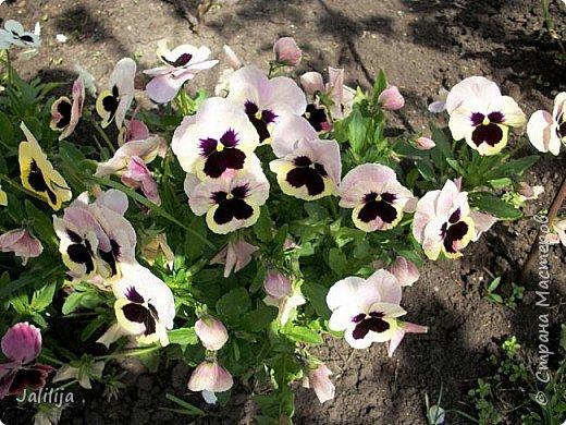 Для тех, кто любит эти цветочки, уважаемые мастера, я сегодня привезла из деревни это буйство цвета и красок.  Оторвитесь от своих поделок, пусть ваши трудолюбивые ручки и глазки отдохнут. Вы посмотрите, сколько ярких красок!  Какое буйство цвета! Я не буду вам мешать. Буду рада, если мои виолки доставят вам несколько приятных минут. фото 22