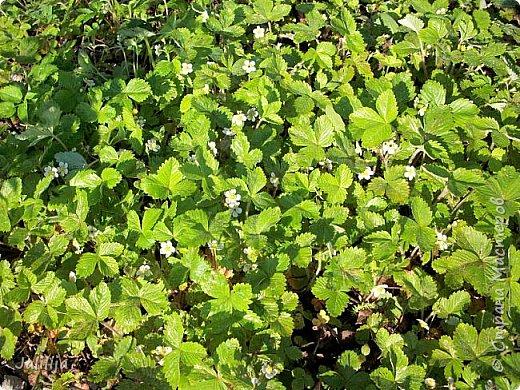 Основной цвет мая? Ошибаетесь, если думаете - зелёный. Зелёный цвет - цвет весны. А цвет мая в наших краях - белый. И этот цвет имеет изумительный аромат! И звучание - многоголосое жужжание пчёл. фото 22