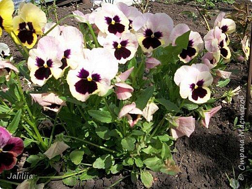 Для тех, кто любит эти цветочки, уважаемые мастера, я сегодня привезла из деревни это буйство цвета и красок.  Оторвитесь от своих поделок, пусть ваши трудолюбивые ручки и глазки отдохнут. Вы посмотрите, сколько ярких красок!  Какое буйство цвета! Я не буду вам мешать. Буду рада, если мои виолки доставят вам несколько приятных минут. фото 23