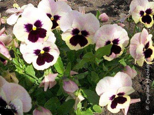 Для тех, кто любит эти цветочки, уважаемые мастера, я сегодня привезла из деревни это буйство цвета и красок.  Оторвитесь от своих поделок, пусть ваши трудолюбивые ручки и глазки отдохнут. Вы посмотрите, сколько ярких красок!  Какое буйство цвета! Я не буду вам мешать. Буду рада, если мои виолки доставят вам несколько приятных минут. фото 24