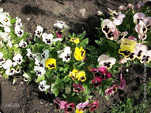 Для тех, кто любит эти цветочки, уважаемые мастера, я сегодня привезла из деревни это буйство цвета и красок.  Оторвитесь от своих поделок, пусть ваши трудолюбивые ручки и глазки отдохнут. Вы посмотрите, сколько ярких красок!  Какое буйство цвета! Я не буду вам мешать. Буду рада, если мои виолки доставят вам несколько приятных минут. фото 25