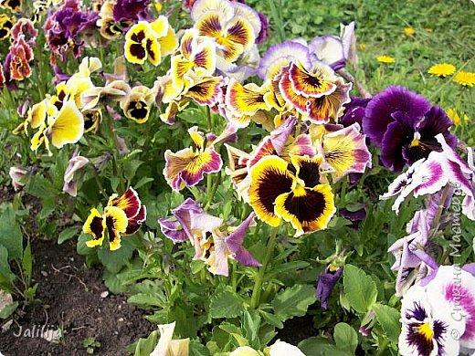 Для тех, кто любит эти цветочки, уважаемые мастера, я сегодня привезла из деревни это буйство цвета и красок.  Оторвитесь от своих поделок, пусть ваши трудолюбивые ручки и глазки отдохнут. Вы посмотрите, сколько ярких красок!  Какое буйство цвета! Я не буду вам мешать. Буду рада, если мои виолки доставят вам несколько приятных минут. фото 26