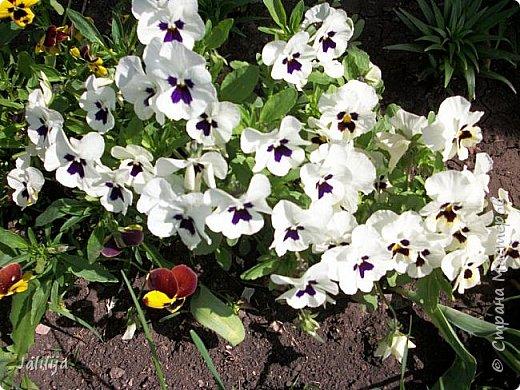 Для тех, кто любит эти цветочки, уважаемые мастера, я сегодня привезла из деревни это буйство цвета и красок.  Оторвитесь от своих поделок, пусть ваши трудолюбивые ручки и глазки отдохнут. Вы посмотрите, сколько ярких красок!  Какое буйство цвета! Я не буду вам мешать. Буду рада, если мои виолки доставят вам несколько приятных минут. фото 29