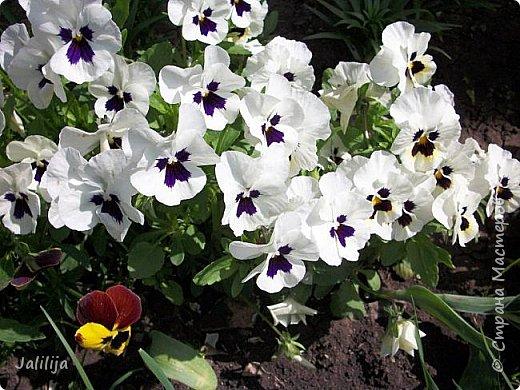 Для тех, кто любит эти цветочки, уважаемые мастера, я сегодня привезла из деревни это буйство цвета и красок.  Оторвитесь от своих поделок, пусть ваши трудолюбивые ручки и глазки отдохнут. Вы посмотрите, сколько ярких красок!  Какое буйство цвета! Я не буду вам мешать. Буду рада, если мои виолки доставят вам несколько приятных минут. фото 30