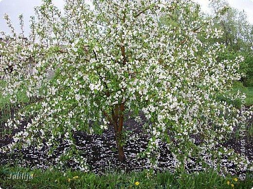 Основной цвет мая? Ошибаетесь, если думаете - зелёный. Зелёный цвет - цвет весны. А цвет мая в наших краях - белый. И этот цвет имеет изумительный аромат! И звучание - многоголосое жужжание пчёл. фото 2