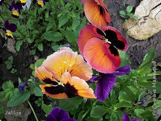 Для тех, кто любит эти цветочки, уважаемые мастера, я сегодня привезла из деревни это буйство цвета и красок.  Оторвитесь от своих поделок, пусть ваши трудолюбивые ручки и глазки отдохнут. Вы посмотрите, сколько ярких красок!  Какое буйство цвета! Я не буду вам мешать. Буду рада, если мои виолки доставят вам несколько приятных минут. фото 4