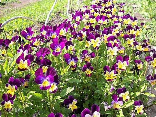 Для тех, кто любит эти цветочки, уважаемые мастера, я сегодня привезла из деревни это буйство цвета и красок.  Оторвитесь от своих поделок, пусть ваши трудолюбивые ручки и глазки отдохнут. Вы посмотрите, сколько ярких красок!  Какое буйство цвета! Я не буду вам мешать. Буду рада, если мои виолки доставят вам несколько приятных минут. фото 32
