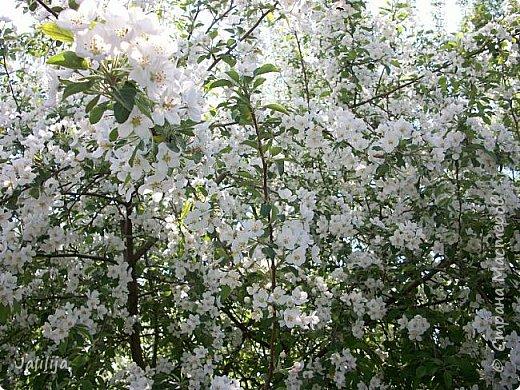 Основной цвет мая? Ошибаетесь, если думаете - зелёный. Зелёный цвет - цвет весны. А цвет мая в наших краях - белый. И этот цвет имеет изумительный аромат! И звучание - многоголосое жужжание пчёл. фото 3