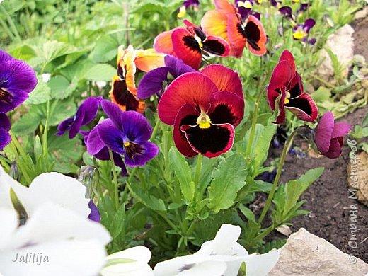 Для тех, кто любит эти цветочки, уважаемые мастера, я сегодня привезла из деревни это буйство цвета и красок.  Оторвитесь от своих поделок, пусть ваши трудолюбивые ручки и глазки отдохнут. Вы посмотрите, сколько ярких красок!  Какое буйство цвета! Я не буду вам мешать. Буду рада, если мои виолки доставят вам несколько приятных минут. фото 5
