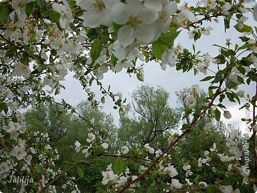 Основной цвет мая? Ошибаетесь, если думаете - зелёный. Зелёный цвет - цвет весны. А цвет мая в наших краях - белый. И этот цвет имеет изумительный аромат! И звучание - многоголосое жужжание пчёл. фото 4