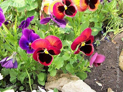 Для тех, кто любит эти цветочки, уважаемые мастера, я сегодня привезла из деревни это буйство цвета и красок.  Оторвитесь от своих поделок, пусть ваши трудолюбивые ручки и глазки отдохнут. Вы посмотрите, сколько ярких красок!  Какое буйство цвета! Я не буду вам мешать. Буду рада, если мои виолки доставят вам несколько приятных минут. фото 6